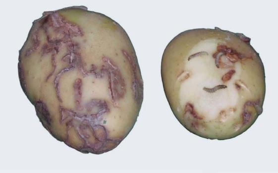 Esta tarde en Ferrol hai unha charla sobre a praga da avelaíña guatemalteca da pataca