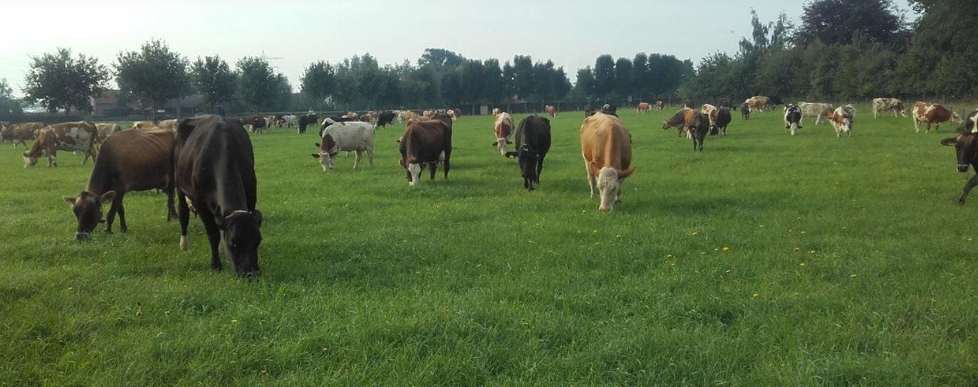La granja lechera holandesa Hillekens Hoeve, participante en EuroDairy, conecta a los consumidores con leche orgánica A2A2